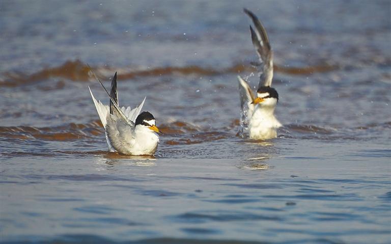 五源河入海口的白额燕鸥