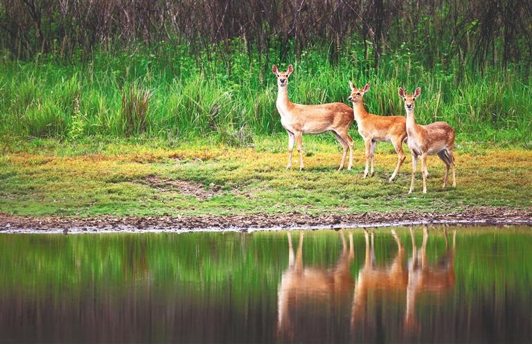 大田国家级自然保护区的海南坡鹿