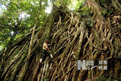 """这是由三棵大榕树的树根组成的一道""""树墙""""."""